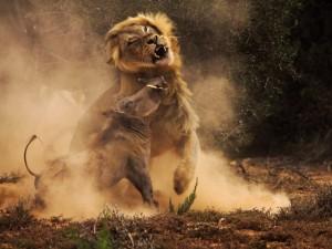 bagarre-lions